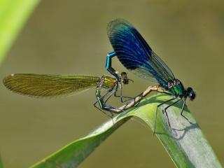 Motýlice lesklá, řeka Rokytná