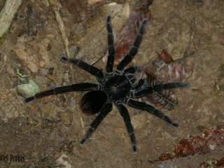 Tarantule, rezervace EcoAmazonia