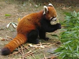 Panda červená, výzkumná chovatelská základna Chengdu