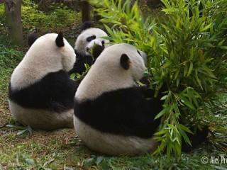 Panda velká, výzkumná chovatelská základna Chengdu