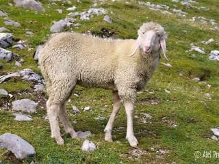 Ovce v u stezky Goetheweg na Nordkette, Innsbruck