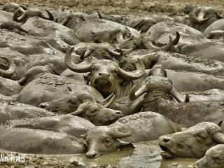 Vodní buvoli, Národní park Hortobágy