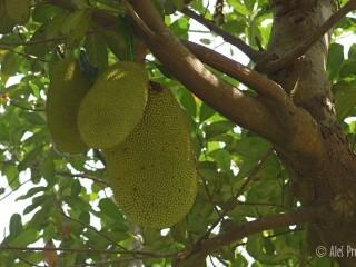 Žakie (džekfruit, z angl. jackfruit), plod chlebovníku různolistého