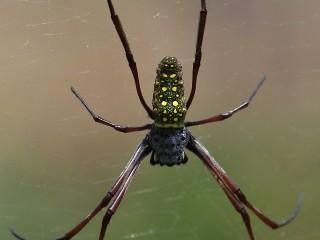 Batik Golden Orb Web Spider (Nephila antipodiana), Soreang, Západní Jáva, velikost cca 6 cm