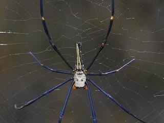 Pavouk Northern Golden Orb Weaver (Nephila pilipes), Soreang, Západní Jáva, velikost cca 7 cm