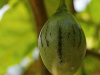 Tamarilo, stromové rajče (Terong Belanda)
