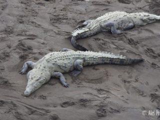 Volně žijící sladkovodní krokodýli na řece Río Grande de Tarcoles, Kostarika