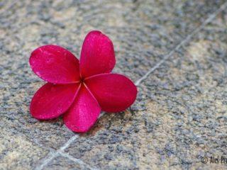Květ plumerie