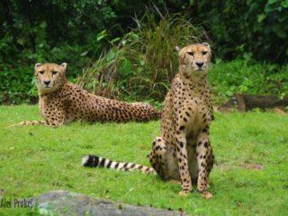 Gepard v ZOO Singapur