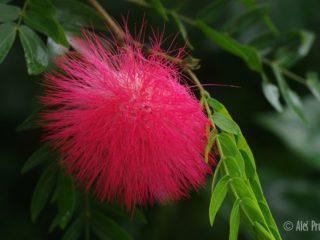 Kvetina Albizia julibrissin