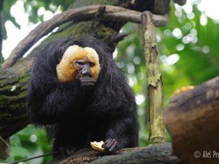 Chvostan bělohlavý (Saki monkey)