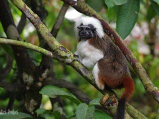 Opice tamarin