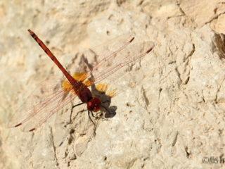 Vážka Trithemis arteriosa, Izrael