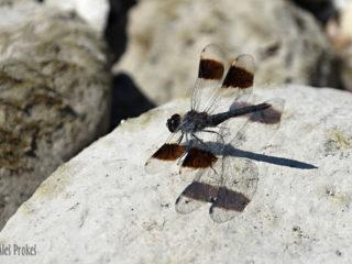 Vážka Brachythemis fuscopalliata, Izrael