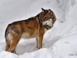 Vlk obecný, Srní, Šumava