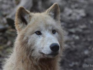 Vlk arktický, ZOO Brno