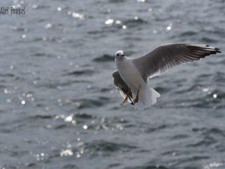 Racek, Baltické moře